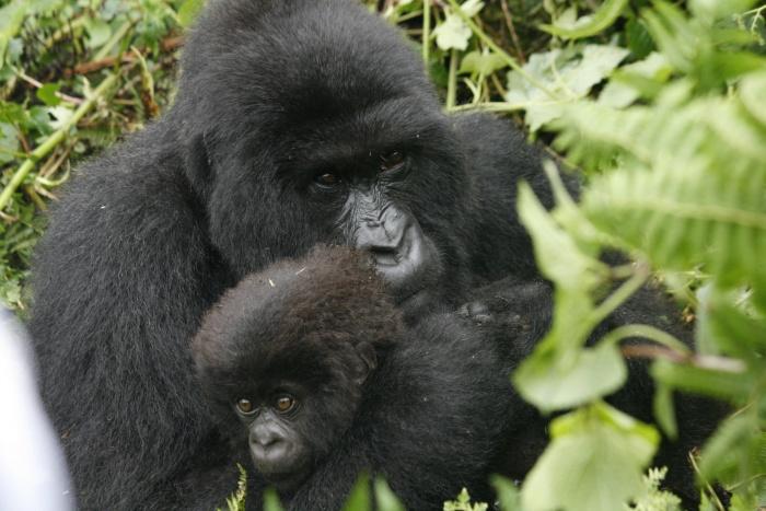 Gorilla Trekking in Rwanda: Things You Should Know | Focus